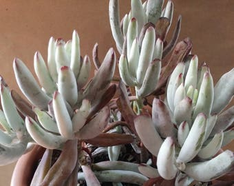 "Two Cotyledon 'White sprite' Succulent CUTTINGS(2""-4"" )"