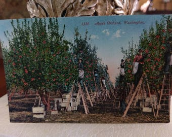 Postcard ~ Apple Orchard,  Washington