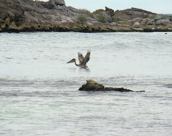 Pelican Taking Flight off Ocean in Tulum, Quintana Roo, Mexico
