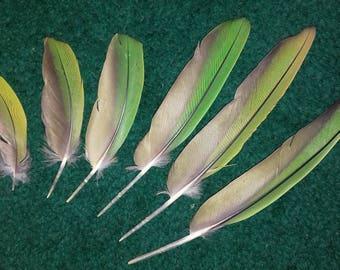Brown throated parakeet (Eupsittula pertinax), naturally molted feathers, cruelty free.