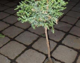 Cedar bonsai, 5 years old, plant #32