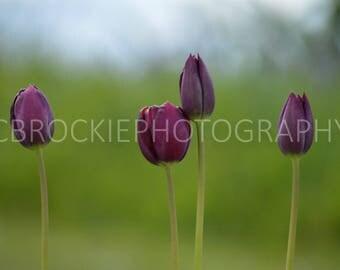 Purple Tulip flowers