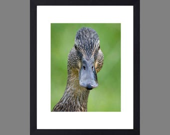 Duck with attitude- FREE POSTAGE- father's day gift- framed prints- bird photography- wildlife photography