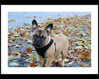 Winston, the French Bulldog. Photography, Free Shipping, Print, Framed Print, Canvas Wrap, Canvas with Floating Frame, Wall Art, Home Decor