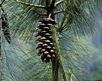 50 Pinus wallichiana , Bhutan Pine Seeds 'Blue pine Seeds. Himalayan white pine Seeds