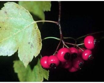 10 Crataegus lindmanii Seeds,hawthorn Berry Seeds, Crataegus rhipidophylla