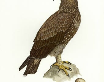Vintage lithograph of the lesser spotted eagle from 1956