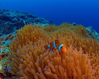 Underwater world Anemone fish Art Photo Digital Download 01