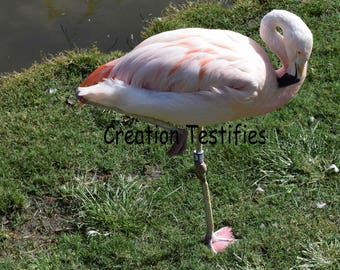 Nature photograph - Flamingo on one leg