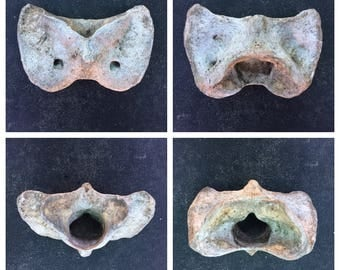 Real Cow Atlas Bone [craft grade/nature cleaned] (skeleton/spine)