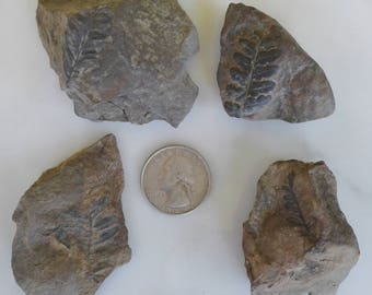 Fern Fossils - Four Leaves