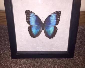 Taxidermy Framed Butterfly