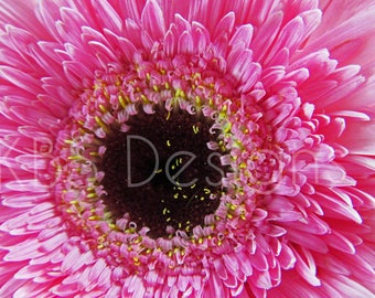 Pink Gerbra Close Up /Stock Photos/ Styled Photo Background/ Social Media