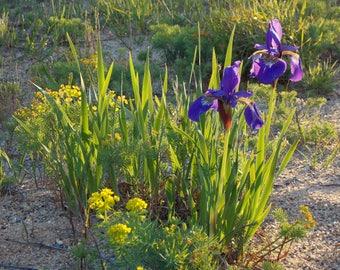 "Set of 5 ""Julie's Irises"""
