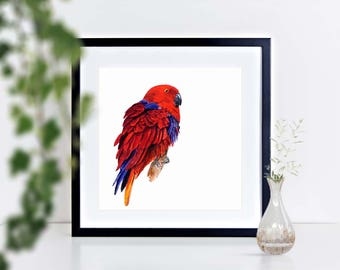 Electus Parrot - limited edition signed print, framed or mounted
