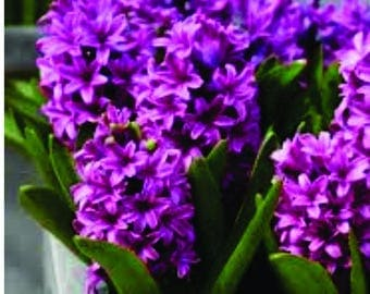Hyacinth  - A Candle Supply Co. - Premium Fragrance Oil
