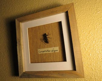 Giant Forest Ant Shadow Box, Camponotus gigas