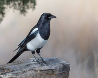Black-billed Magpie: print, metal, canvas