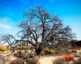 InnerTree - Photographed in Joshua Tree of leafless tree against the desert and blue sky background