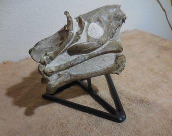 Fossil Culburtsoni Oreodont Skull with associated leg and foot bones.