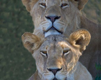 Lions Brother and Sister