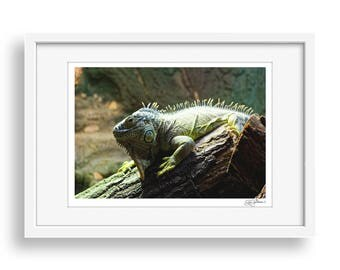 Green Iguana - Lizard, Wildlife, Photography, Print