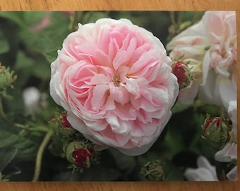 A blank greeting card featuring the Gallica rose Isis