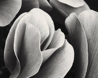 Petals; fine art photography, modern, wall art, floral photography, dark, floral, art, photo, botanical, black, white, by F2images