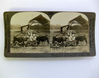 Gorgeous Vintage Stereoscope Card, Hereford Cattle in Kansas, Keystone View Company