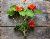 Nasturtium, organic seeds, heirloom seeds, flower seeds, organic pest control, organic gardening, companion plant, herbs, edible flower