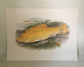 1879 tench minnow fish print original antique sea life ocean marine animal print by houghton