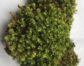 Live Ribbed Bog Moss (Aulacomnium Palustre) for Vivarium, Bog Garden