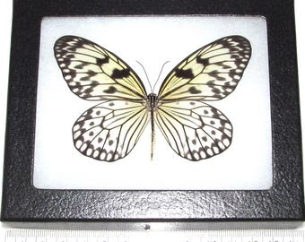 Real framed butterfly black white rice paper idaea Indonesia