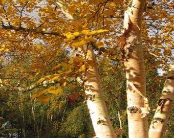 100 Korean Birch Tree Seeds, Betula costata
