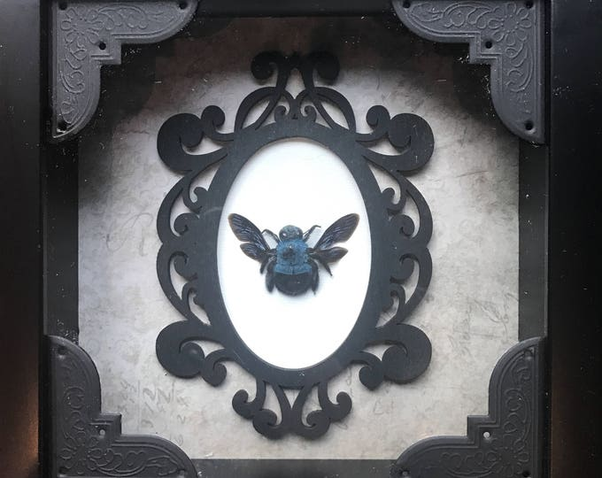 Real taxidermy blue carpenter bee display!