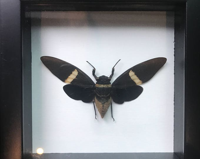 Beautiful black cicada taxidermy display!