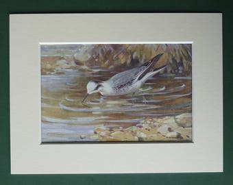 1930s Antique Matted Ornithology Print of a Red-Necked Phalarope by Natural History Artist Allen W Seaby
