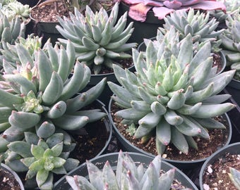 Succulent Plant. Large Pachyveria 'Little Jewel'