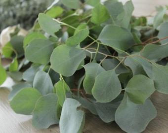 Silver Dollar Eucalyptus Bunch- 5-7 stem
