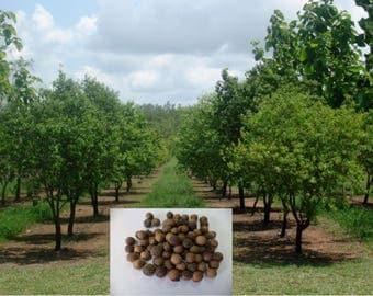 25 Fresh seeds of Indian Sandalwood Santalum Album Tree  for Growing