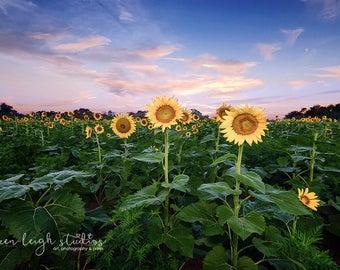 Waiting for the Sun Sunflower Print