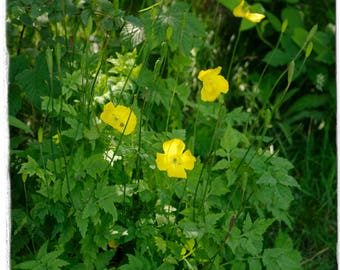 Meconopsis cambrica 'Welsh Poppy' [wild form] [Ex. Somerset] 200+ SEEDS