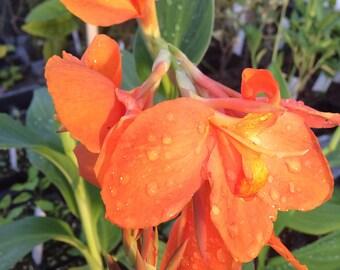 Canna Cannova Orange Shades Pint Plant FREE SHIP