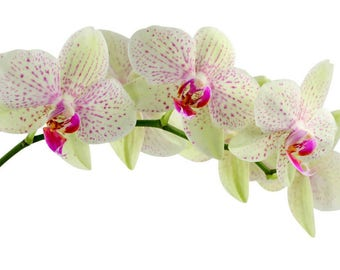 Laminated placemat white Orchid