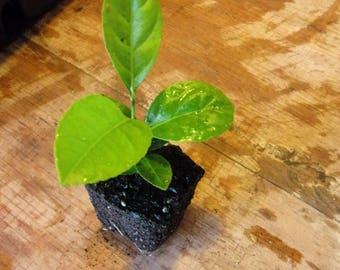 Lemon Tree Seedling -- Wedding Favors - Party Favors