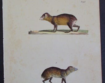 1833 Agouti Dasyprocta and Acouti Myoprocta. Buffon Antique Handcolored Lithograph Original Natural History