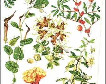 Mediterranean Wildflowers plate 31 painted by Barbara Everard. The page is approx. 9 inches wide and 12 inches tall.