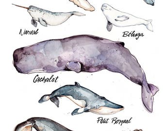 Whales Illustration (Large) | Species | Nature | Animal | Biology | Drawing | Watercolor | Marie-Eve Arpin | Made in Quebec | Whale | Art