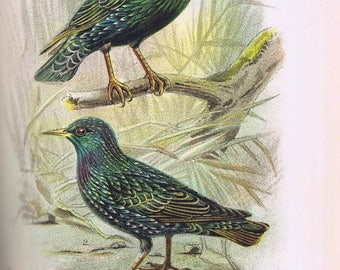 antique print common starling 1896