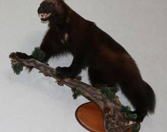 Wolverine - Taxidermy Mount, Stuffed Animal For Sale - ST3773
